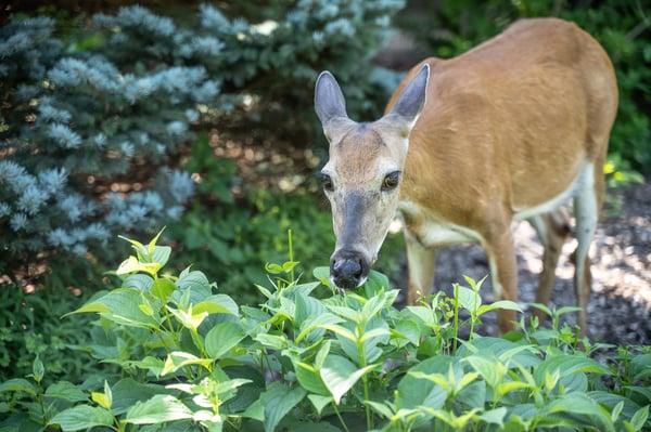 Deer_control_landscaping_repellent