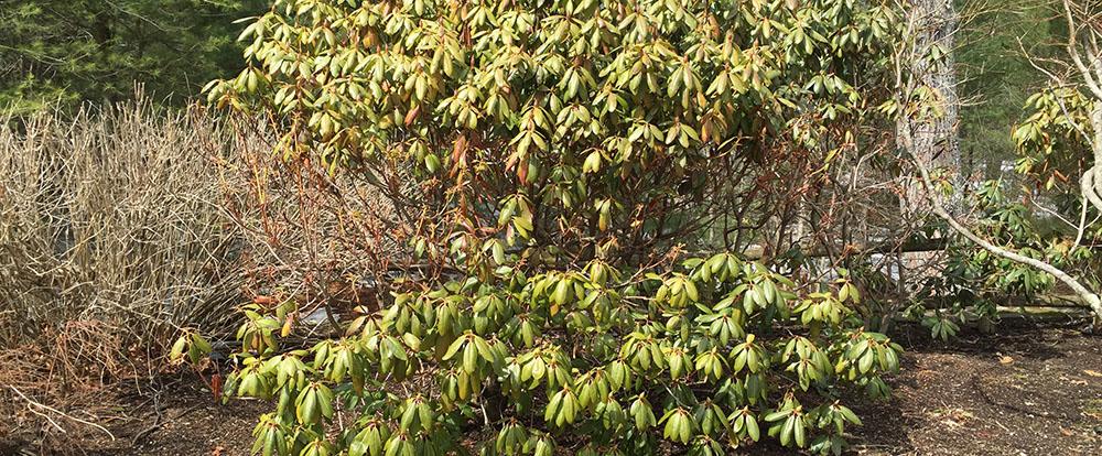 deer-damage-rhododendron.jpg
