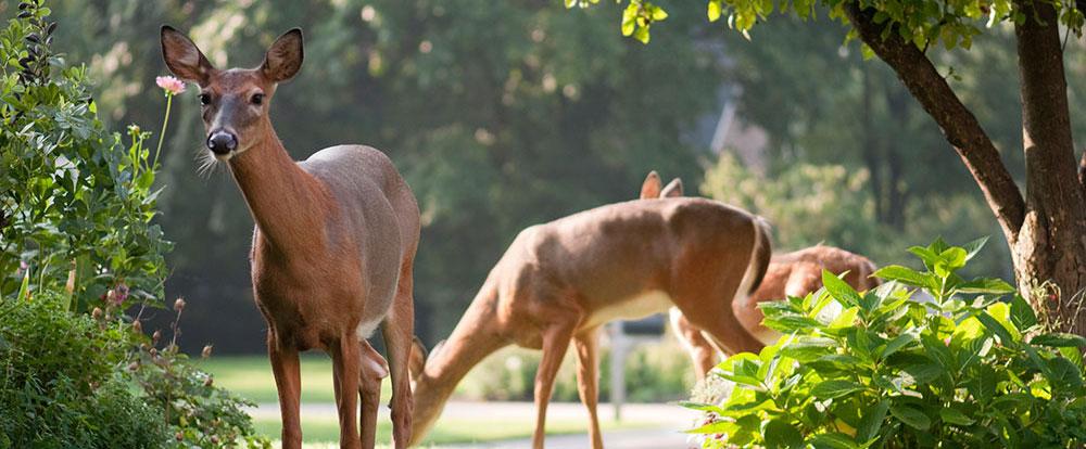 deer-favored-food.jpg