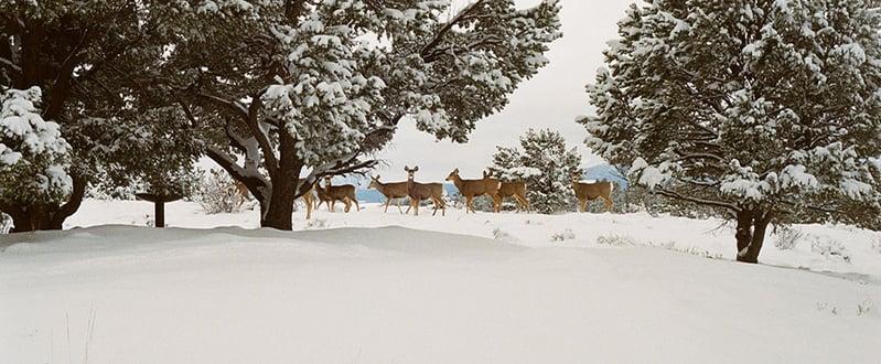 deer-snow-forest-trees-winter.jpg