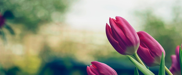 spring-tulips.jpeg