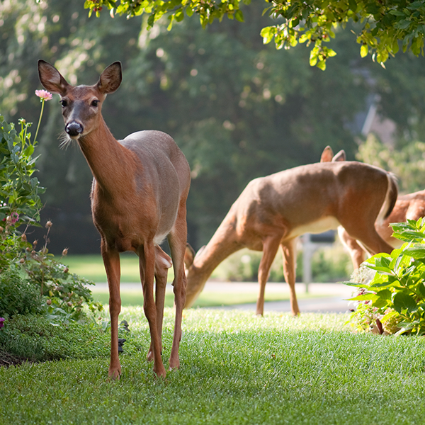 deer-on-lawn.png