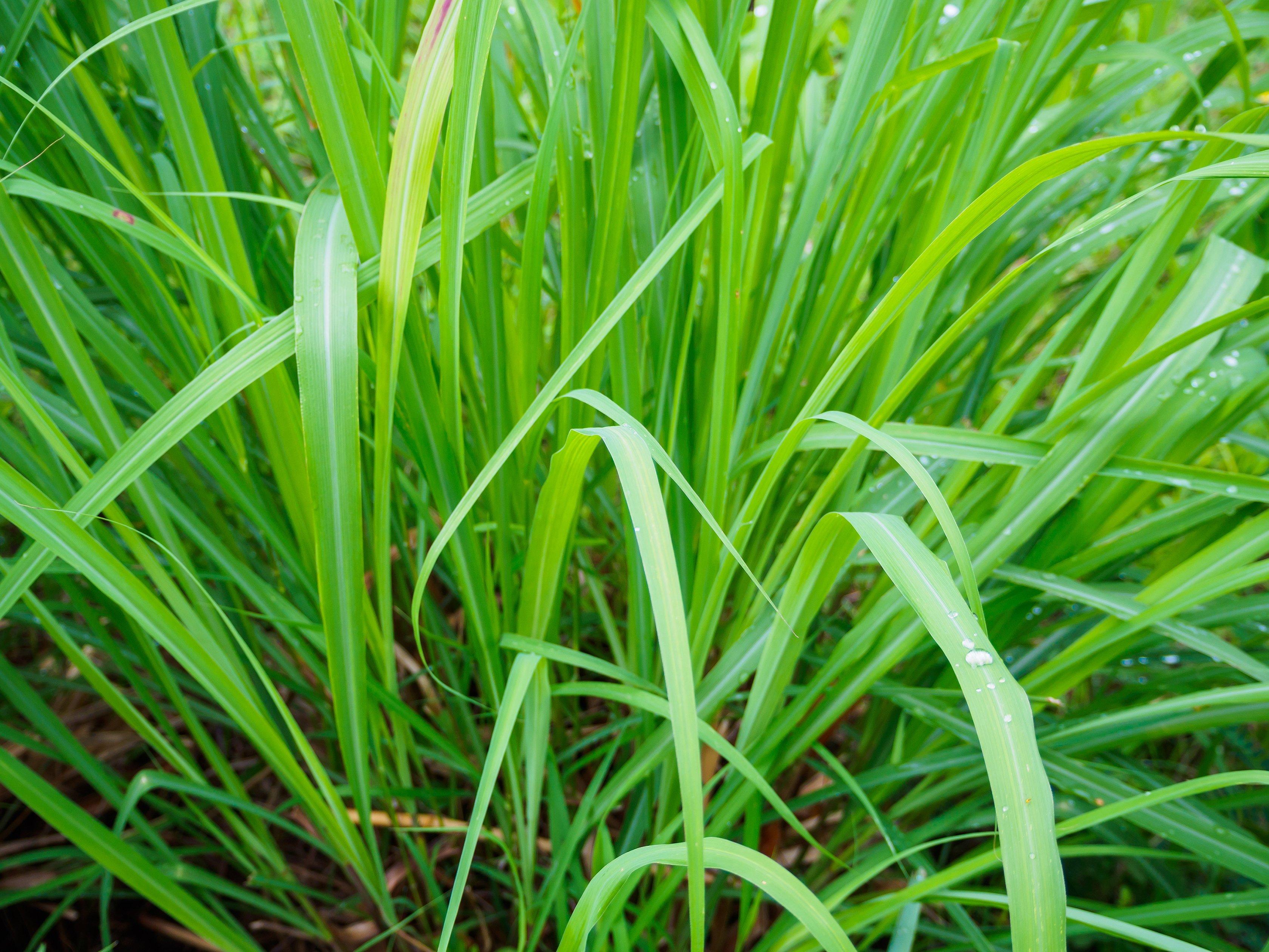 citronella_lemon_grass_mosquito