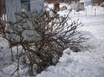 deer damage and spring signs 008