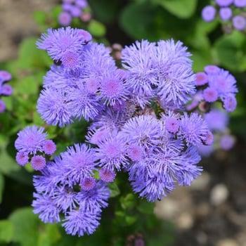 floss flower_square
