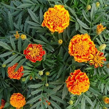 marigold_square