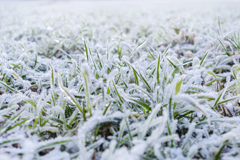 snow_grass
